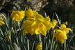 Narcissus 'Quail' - Jonquilla Daffodil