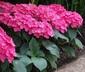 Hydrangea macrophylla 'Merritt's Supreme' (Hortensia Group) - Bigleaf Hydrangea