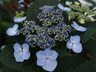 Hydrangea macrophylla 'Tokyo Delight' (Lacecap Group) - Bigleaf Hydrangea