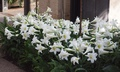 Lilium longiflorum 'White Heaven' - Easter Lily