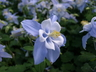 Aquilegia 'Bluebird' (Songbird Group) - Columbine