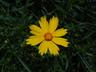 Coreopsis delphiniifolia - Coreopsis