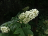 Hydrangea quercifolia 'Flemygea' [sold as Snow Queen] - Oakleaf Hydrangea