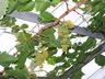 Vitis vinifera 'Lakemont' - European Grape