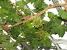 Vitis vinifera 'Muscat of Alexandria' - European Grape