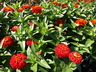 Zinnia 'Marvel Scarlet' (Marvel Group) - Zinnia