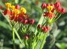 Asclepias curassavica 'Red Butterfly' - Blood-Flower