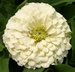 Zinnia elegans 'White Wedding' - Zinnia