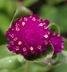 Gomphrena globosa 'Woodcreek Purple' - Globe-Amaranth