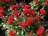 Celosia argentea 'Prestige Scarlet' (Cristata Group) - Cockscomb