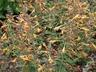 Agastache aurantiaca 'Apricot Sprite' - Giant-Hyssop