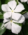 Catharanthus roseus unknown cultivar [sold as Cora White (R)] (Cora Group) - Madagascar Periwinkle Vinca