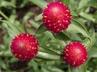 Gomphrena unknown cultivar [sold as QIS Carmine (TM)] (QIS Group) - Globe-Amaranth