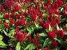 Celosia argentea 'Century Rose' (Plumosa Group) - Cockscomb