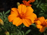Tagetes patula 'Disco Orange' - French Marigold