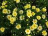Argyranthemum frutescens 'Butterfly' - Marguerite