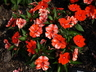 Impatiens 'SAKIMP011' [sold as SunPatiens Compact Orange (R)] (SunPatiens Group) - New Guinea Impatiens