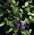 Plectranthus 'Mona Lavender' - Spurflower