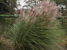 Miscanthus sinensis 'Morning Light' - Slender Variegated Miscanthus