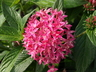 Pentas lanceolata 'Butterfly Deep Pink' - Egyptian Star-Cluster