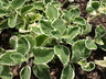 Plectranthus amboinicus - Spanish-Thyme