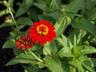 Zinnia 'Scarlet Ruffles' (Ruffles Group) - Zinnia
