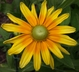 Rudbeckia hirta 'Prairie Sun' - Gloriosa Daisy Black-Eyed Susan