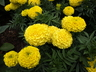 Tagetes erecta 'Marvel Yellow' - African Marigold