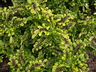 Solenostemon scutellarioides 'Swallowtail' - Coleus