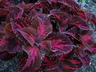 Solenostemon scutellarioides 'Kingwood Torch' (Kingwood Group Group) - Coleus