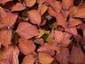 Solenostemon scutellarioides 'Sedona' (ColorBlaze Group) - Coleus