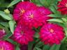 Zinnia marylandica 'Pas5553643' [sold as Double Zahara Cherry (R)] (Double Zahara Group) - Zinnia