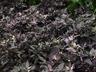 Capsicum annuum 'Purple Flash' - Ornamental Pepper