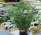 Cyperus alternifolius 'Gracilis' - Dwarf Umbrella-Plant