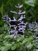 Plectranthus hilliardiae - Spurflower