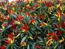 Capsicum annuum 'Chilly Chili' - Ornamental Pepper