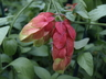 Justicia brandegeana - Shrimp-Plant