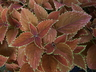 Solenostemon scutellarioides 'Rustic Orange' - Coleus