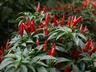 Capsicum annuum 'Sangria' - Ornamental Pepper