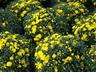 Chrysanthemum x morifolium 'Lisa' - Decorative Mum