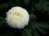 Chrysanthemum x morifolium 'Moonbeam' - Pompon Mum