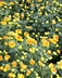 Chrysanthemum x morifolium 'Kelvin Tattoo' - Pompon Mum