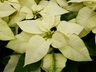 Euphorbia pulcherrima '21-85' [sold as V-17 Angelika White (TM)] - Poinsettia