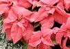 Euphorbia pulcherrima 'Beckmanns Altrosa' [sold as Maren] - Poinsettia