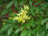 Aesculus pavia var. flavescens - Texas Yellow Buckeye