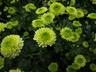 Chrysanthemum x morifolium 'Kermit' - Pompon Mum