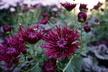 Chrysanthemum x morifolium 'Oriental Knight' - Spoon Mum