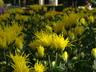 Chrysanthemum x morifolium 'Saga-no-Izumi' - Thistle Mum