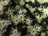 Chrysanthemum x morifolium 'Vesuvio' - Anemone Mum