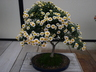 Chrysanthemum x morifolium 'Chidori' - Single Mum